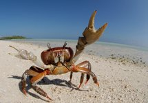 crab_showing_big_claw_on_beach.jpg
