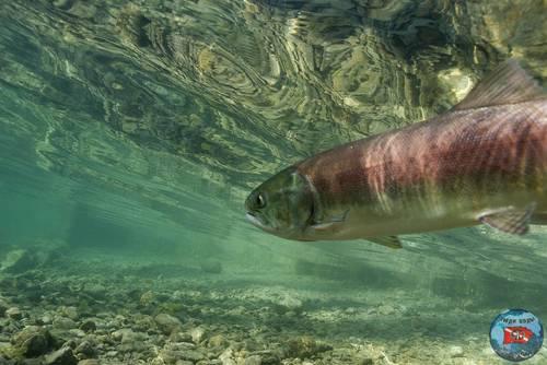 sockeye salmon idaho.jpg